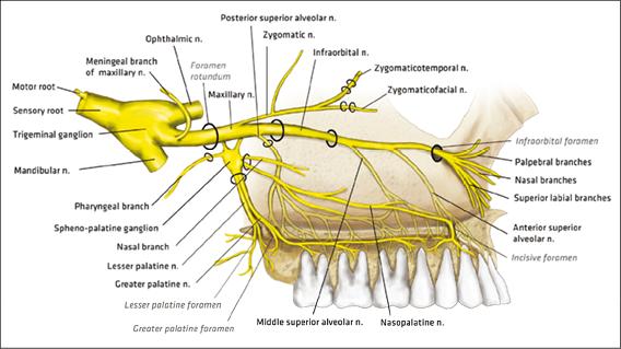 Diagram Of Upper Teeth Nerve Information Of Wiring Diagram